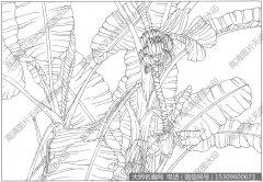 芭蕉 线描图片高清大图13下载